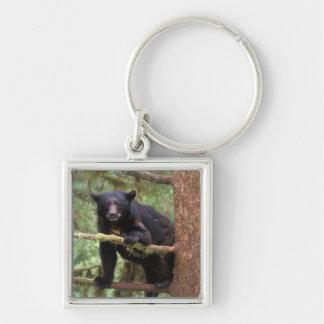 black bear, Ursus americanus, sow in tree, Anan Keychain