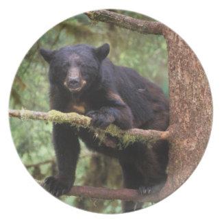 black bear, Ursus americanus, sow in tree, Anan Dinner Plates