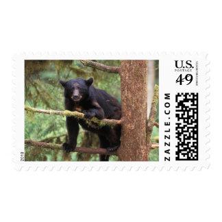 black bear, Ursus americanus, sow in tree, Anan Postage