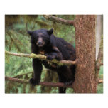 black bear, Ursus americanus, sow in tree, Anan Poster