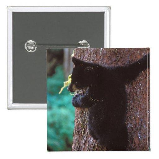 black bear, Ursus americanus, spring cub in a 2 Inch Square Button