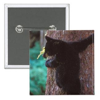 black bear, Ursus americanus, spring cub in a Button