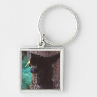 black bear, Ursus americanus, spring cub in a Keychain