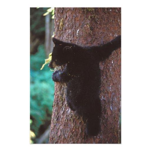 black bear, Ursus americanus, spring cub in a Art Photo