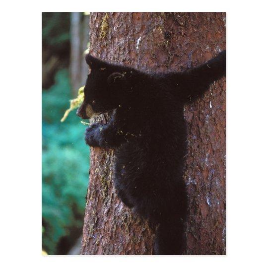 black bear, Ursus americanus, spring cub in a Postcard