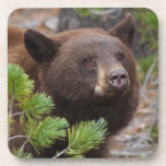 Black Bear with Blond Color Beverage Coasters