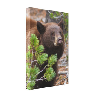 Black Bear with Blond Color Canvas Print