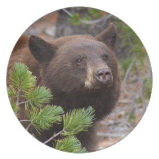 Black Bear with Blond Color Dinner Plate