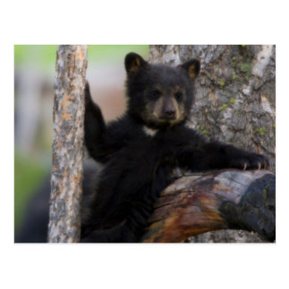Black Bears Cub Lounging Postcard