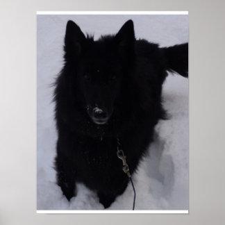 Black Belgian Shepherd in the Snow Poster