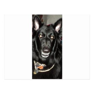 Black Belgian Shepherd Postcard