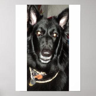 Black Belgian Shepherd Poster