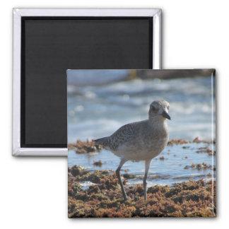 Black-bellied Plover Photo Magnet