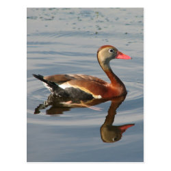 Postcard with Black-bellied Whistling Duck design