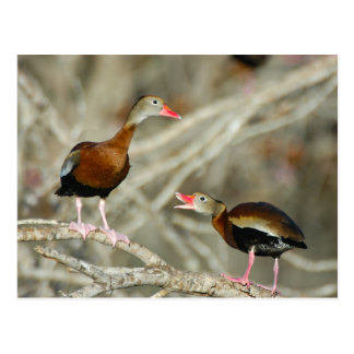Black-bellied Whistling-Ducks Postcard