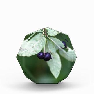 Black berried honeysuckle (Lonicera nigra) Award