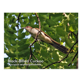 Black-Billed Cuckoo Postcard