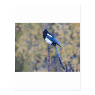 Black Billed Magpie Postcard