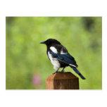 Black-billed magpie postcards