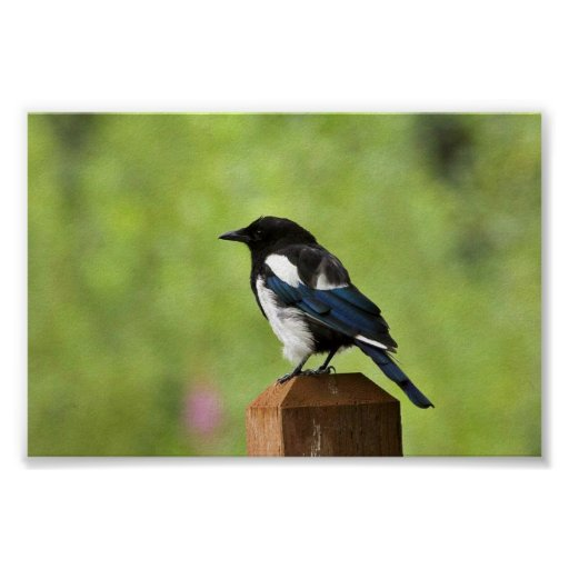 Black-billed magpie posters