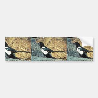 Black-billed magpie stands on rock bumper sticker