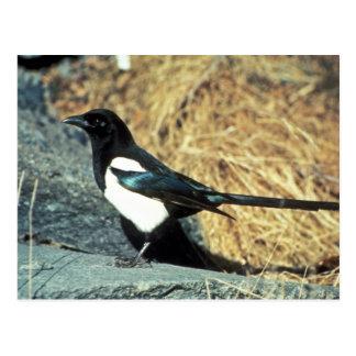 Black-billed magpie stands on rock postcard