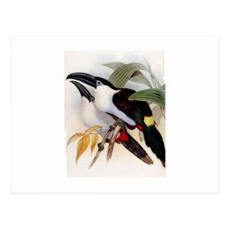 Black-billed Mountain-toucan Postcard