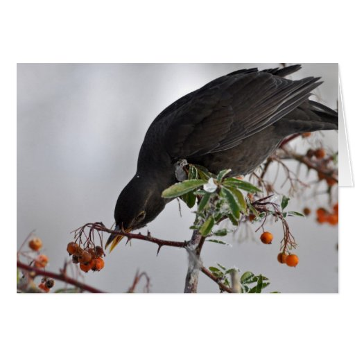Black bird hunting for berry card