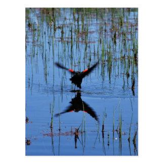 Black Bird Taking Off Postcard