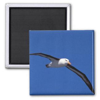 Black-Browed Albatross In Flight 2 Inch Square Magnet