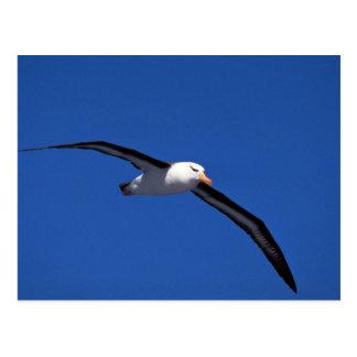 Black-Browed Albatross In Flight Postcard