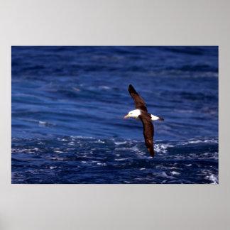 Black-Browed Albatross In Flight Poster