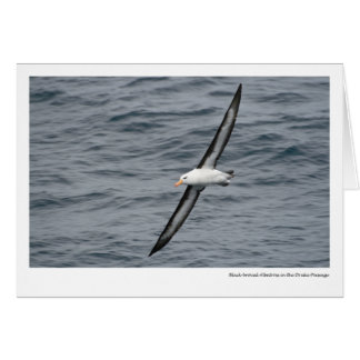 Black-browed Albatross in the Drake Passage Card