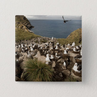 Black-browed Albatross, Thalassarche Button