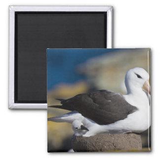 Black-browed Albatross Thalassarche Magnet