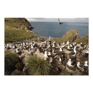 Black-browed Albatross, Thalassarche Photo Art