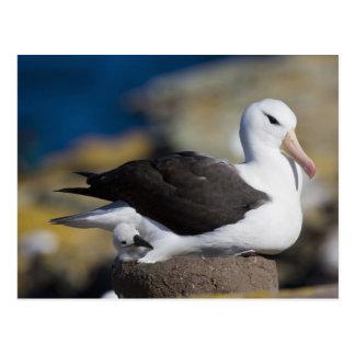 Black-browed Albatross Thalassarche Postcard