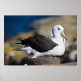 Black-browed Albatross Thalassarche Poster
