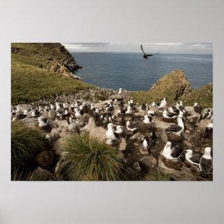 Black-browed Albatross, Thalassarche Poster