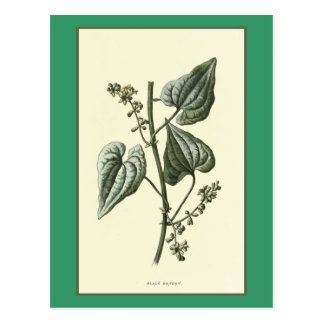 """Black Bryony"" Botanical Illustration Postcards"