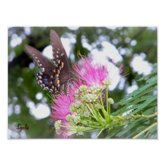 Black Butterfly and Mimosa Flower Poster