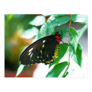 Black Butterfly Nature Photography Postcard