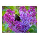 Black Butterfly on Lilac Postcard