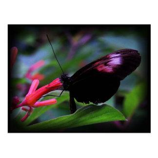 Black Butterfly Postcard