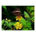 Black Butterfly Yellow Lantana Posters
