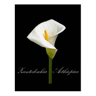 Black Cala Lily Postcards