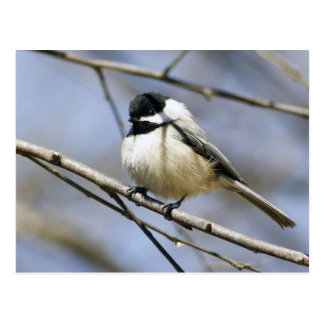 Black Capped Chicadee Postcard