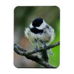 Black Capped Chickadee Bird Vinyl Magnets