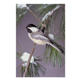 Black-capped Chickadee ? gray background Poster