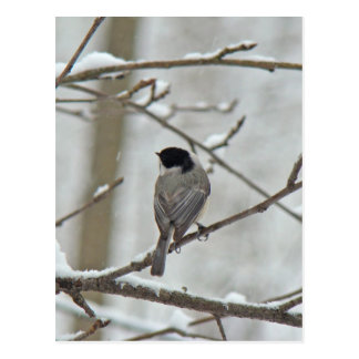 Black-Capped Chickadee in Snow Storm Postcard